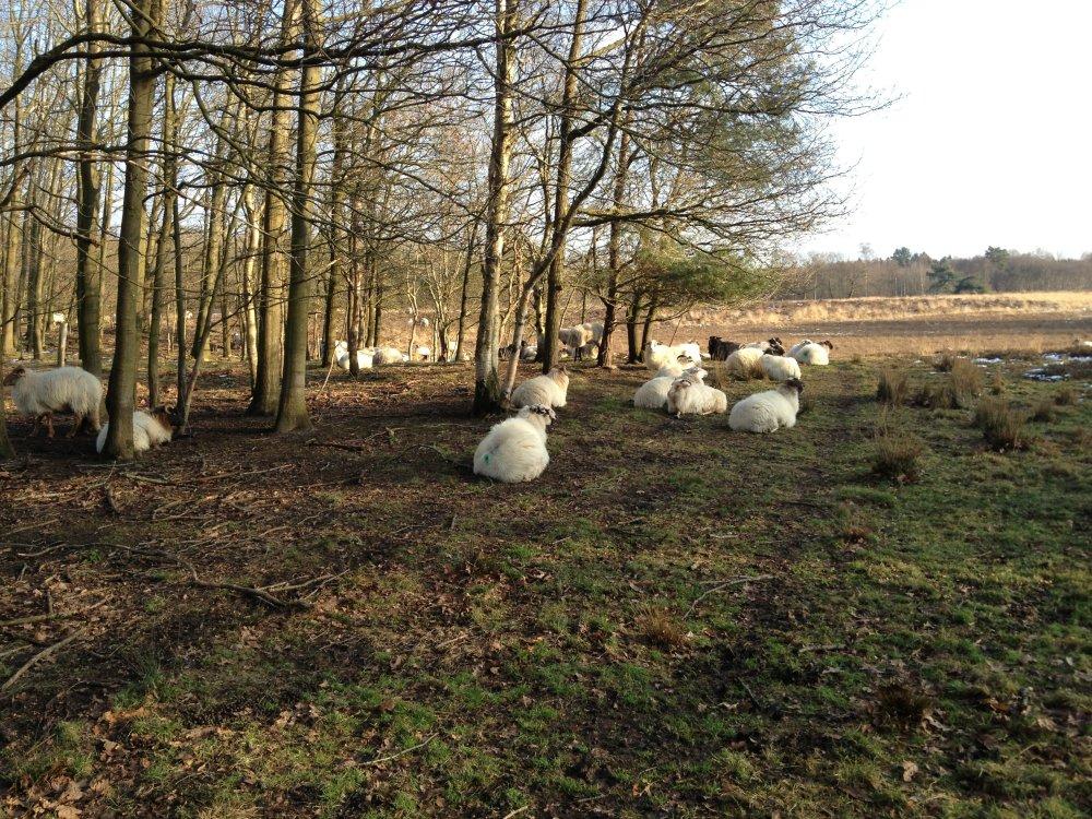 Nog meer schapen!