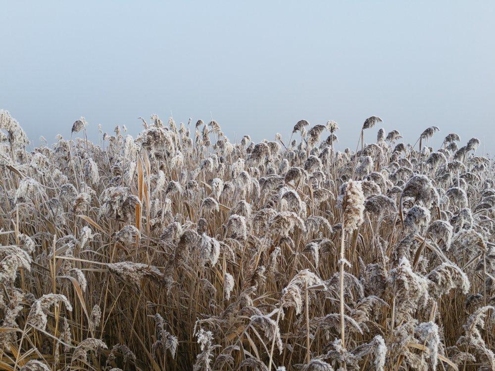 Bevroren riet.
